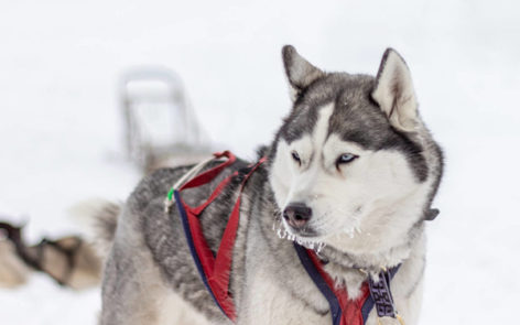 Dog sledding tour to Kivach